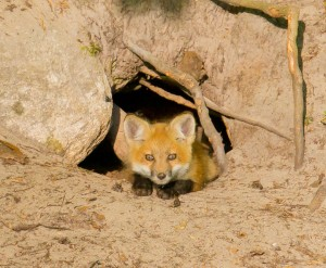 Fox pup staring at us from his den