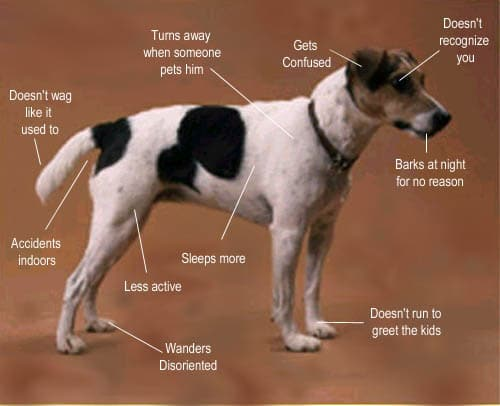 Photo of dog showing typical CDS symptoms