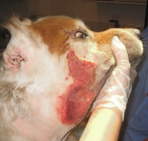 The extent of the infection once the fur is clipped away