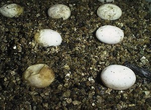 7 eggs laying on vermiculite