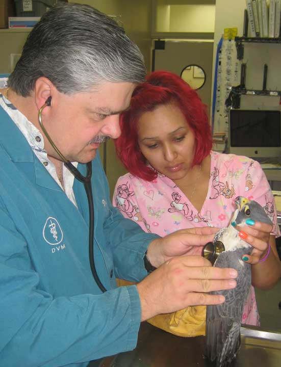 Dr. R examining a peregrine falcon from our Wildlife Care Program