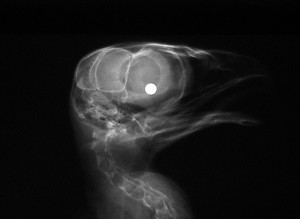 X-ray of a bird with a B*B in its skull