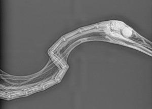X-ray of a heron's neck showing the cervical (neck) bones