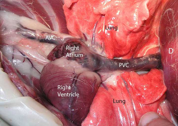 Learn how we diagnose heart disease in animals Long