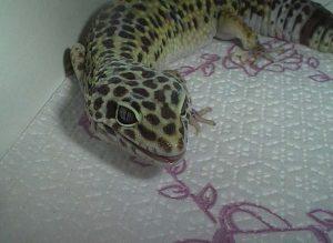 Gecko walking over a paper towel