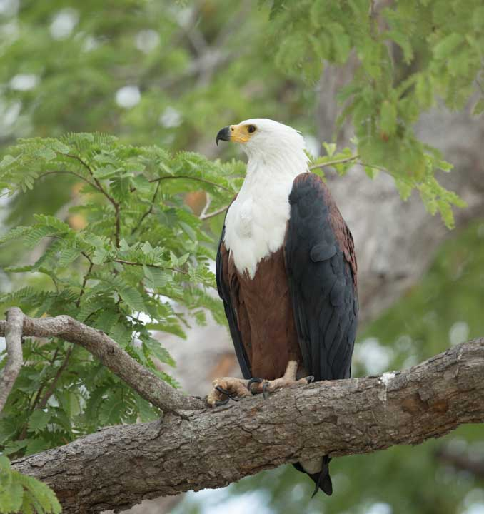 Selous2015-FishEagle-10
