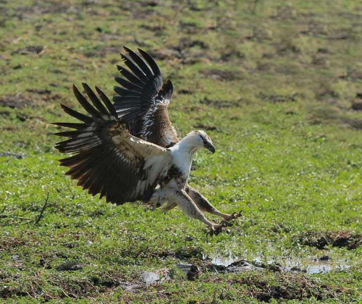Selous2015-FishEagle-14