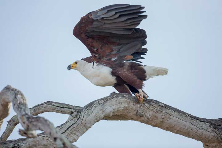 Selous2015-FishEagle-2