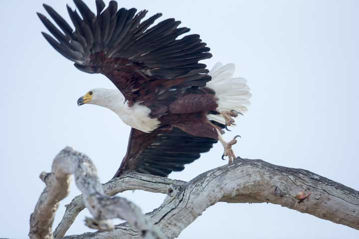 Selous2015-FishEagle-3