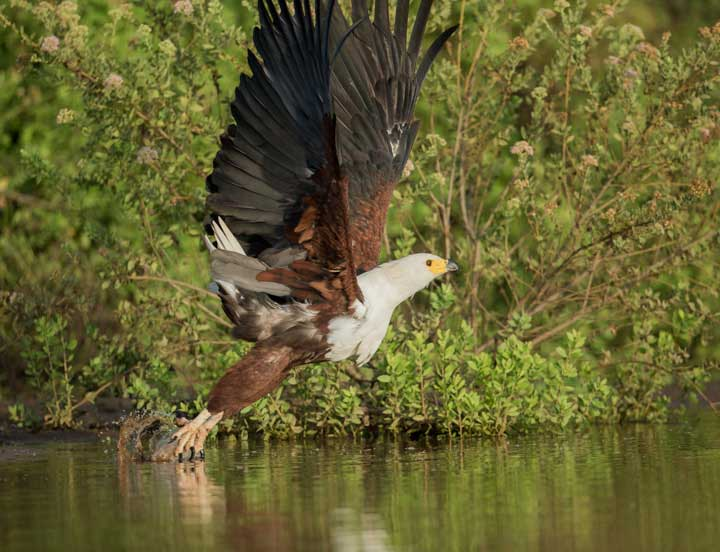 Selous2015-FishEagle-7