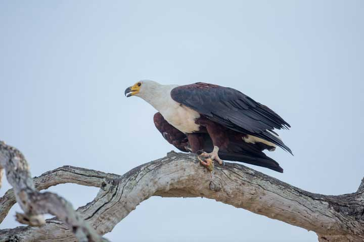 Selous2015-FishEagle