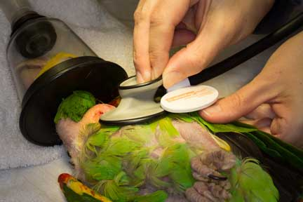 Nurse listening to an anesthetized bird's heart with a stethoscope