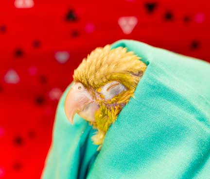 Fluffed appearance of a sick bird being held in a towel