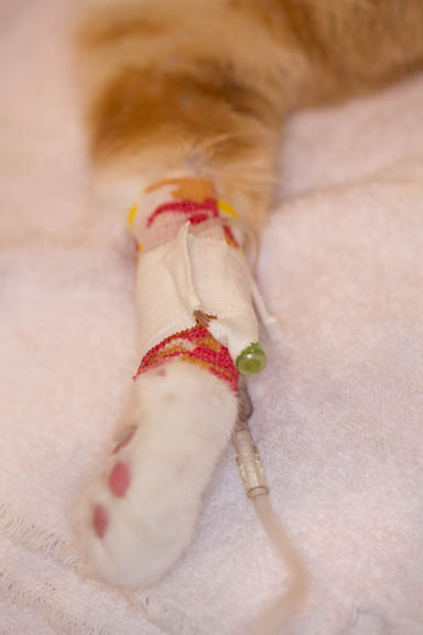 Close up view of an IV catheter bandaged on a cat's arm