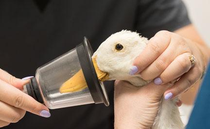Wildlife duck anesthetized
