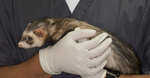 Ferret-adrenal-gland-surgery