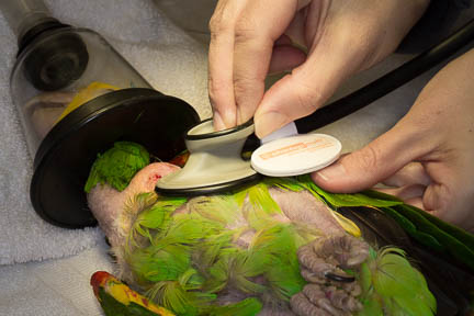 Avian Heart Stethoscope