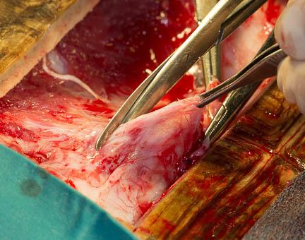 Tortoise-bladder-stone-surgery-cutting-lining.jpg