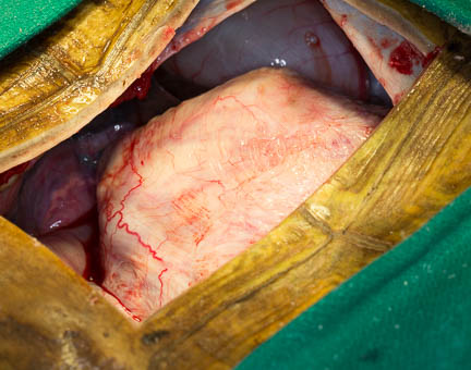 Tortoise-bladder-stone-surgery-too-large-to-come-out.jpg