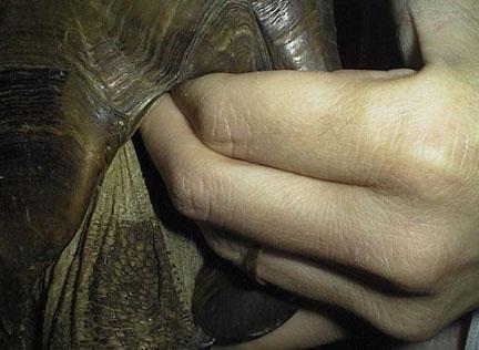 Tortoise-palpation.jpg