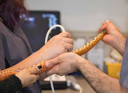 Using ultrasound to find the heart of a snake