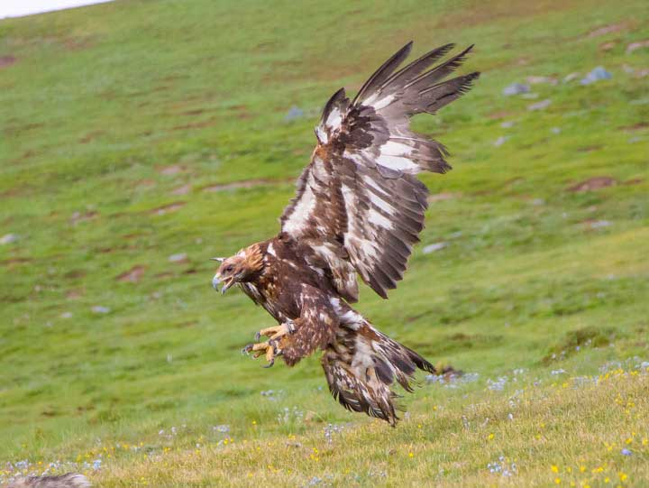 The golden eagle just after release diving after a rabbit