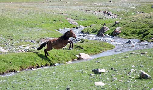 Horse jumping stream in the western Mongolian countryside