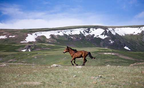 Running horse in the western Mongolian countryside