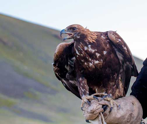 Golden eagle perched on a master falconers glove showing her eagerness to go hunting