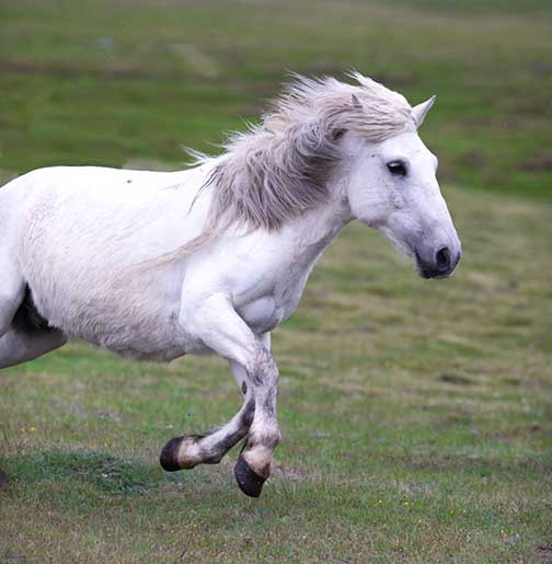 Beautiful white horse galloping past us