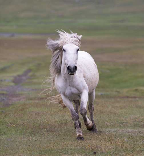 Beautiful white horse galloping towards us