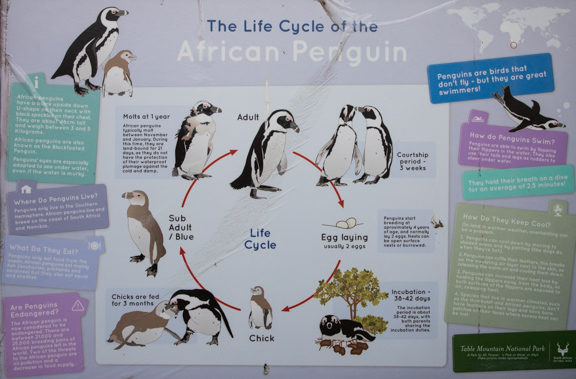 African-penguins-cape-town-south-africa-2