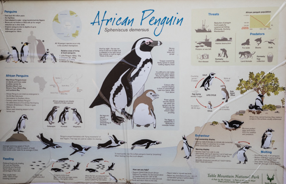 African-penguins-cape-town-south-africa