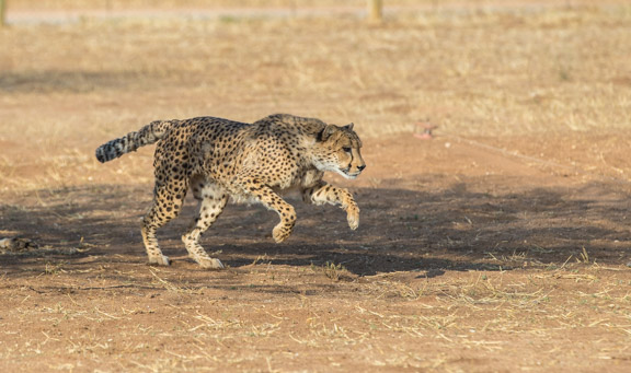Cheetah-conservation-fund-running-