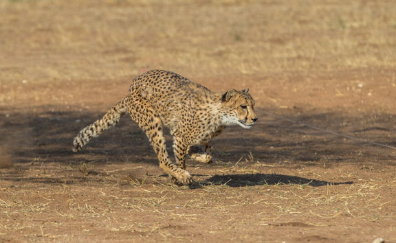 Cheetah-conservation-fund-running-1