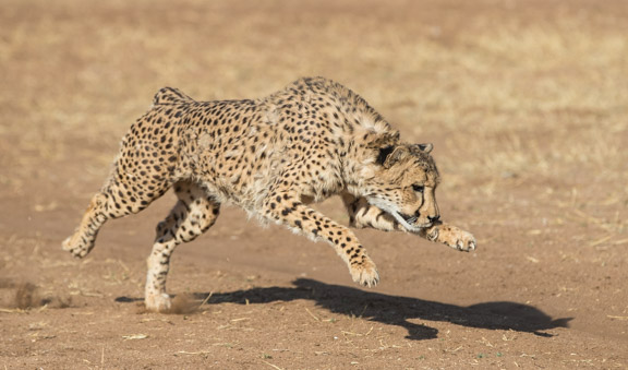 Cheetah-conservation-fund-running-10