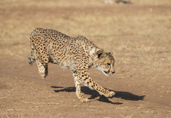 Cheetah-conservation-fund-running-11