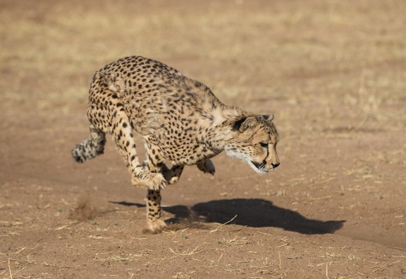 Cheetah-conservation-fund-running-12