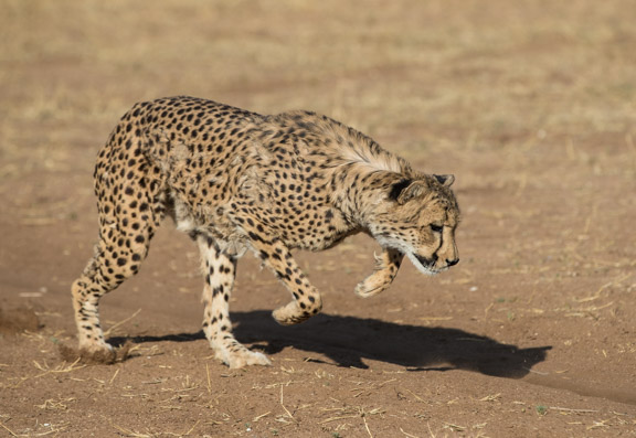 Cheetah-conservation-fund-running-13