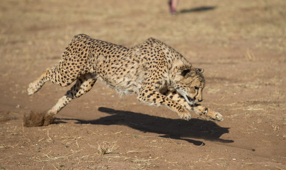 Cheetah-conservation-fund-running-14