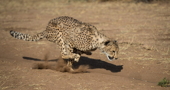 Cheetah-conservation-fund-running-15