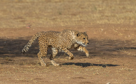 Cheetah-conservation-fund-running-2