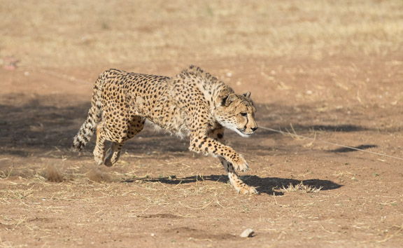 Cheetah-conservation-fund-running-3