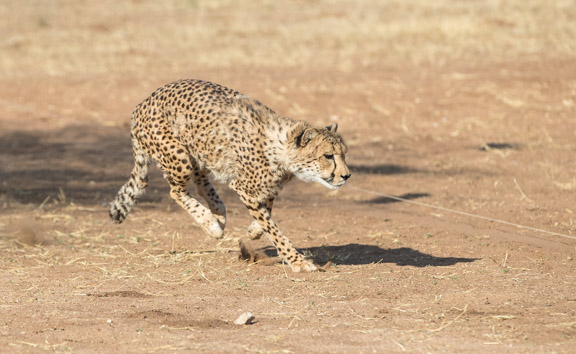 Cheetah-conservation-fund-running-4