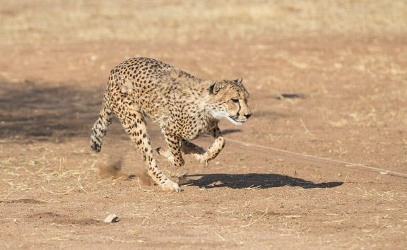 Cheetah-conservation-fund-running-5
