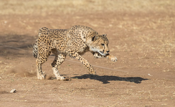 Cheetah-conservation-fund-running-6