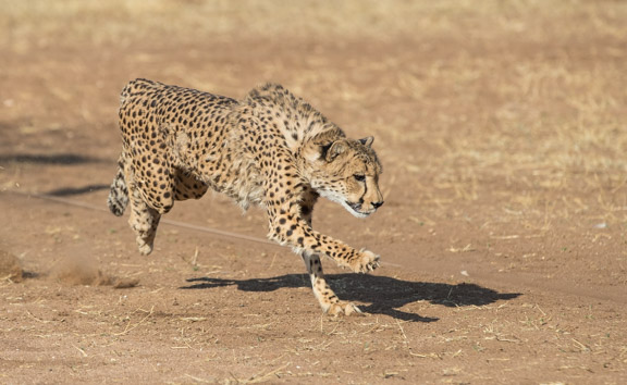 Cheetah-conservation-fund-running-7