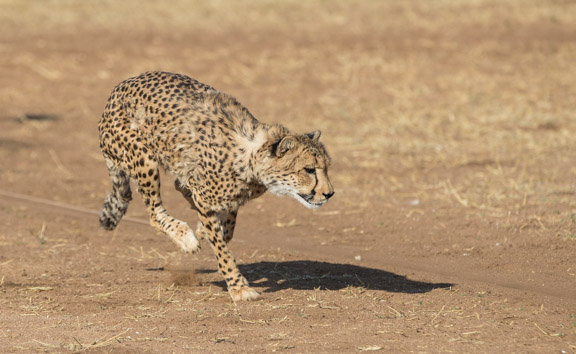 Cheetah-conservation-fund-running-8