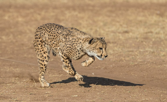 Cheetah-conservation-fund-running-9