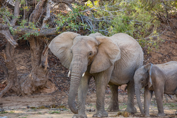 Desert-adapted-elephants-Namibia-1